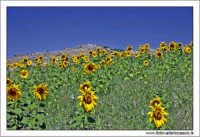 Catenanuova: Campo di girasoli  - Catenanuova (3104 clic)