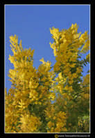Caltanissetta: Campagna nissena. Albero di mimose. 8 Marzo, festa della donna.  - Caltanissetta (3418 clic)