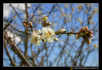 Caltanissetta: Campagna nissena. Albero di mandorle. Mandorlo in fiore, fiore di mandorlo.  - Caltanissetta (5643 clic)
