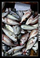 Catania: Pesce fresco al mercato. La Pescheria e' l'antico mercato del pesce della citta' di Catania ed e' inserito nel percorso turistico per il contenuto di folklore che si respira passando fra i banchi dei pescivendoli.   - Catania (2565 clic)
