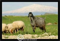 Agira. Campagna di agira. Capre al pascolo. Sullo sfondo l'Etna.  www.walterlocascio.it Walter Lo Cascio  - Agira (3433 clic)