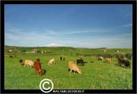 Agira. Campagna di agira. Mucche, vacche al pascolo in contrada Caramitia.  - Agira (1447 clic)