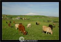 Agira. Campagna di agira. Mucche, vacche al pascolo in contrada Caramitia.  - Agira (1526 clic)