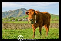 Agira. Campagna di agira. Mucche, vacche al pascolo in contrada Caramitia. Sullo sofndo il monte Teja, dove sorge Agira.  - Agira (1564 clic)