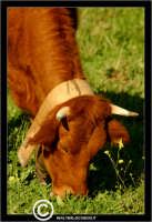 Agira. Campagna di agira. Mucche, vacche al pascolo in contrada Caramitia.   - Agira (1478 clic)