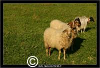 Agira. Campagna di agira. Pecore al pascolo in contrada Caramitia.   - Agira (1547 clic)