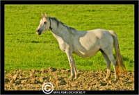 Agira. Campagna di agira. Cavallo Bianco al pascolo in contrada Caramitia.   - Agira (1597 clic)