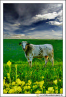 Caltanissetta: Campagna nissena. Un toro, pascola nei campi.  - Caltanissetta (3004 clic)