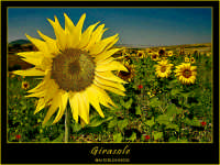 Catenanuova. Giugno 2005. Girasole in un campo. Campo di girasoli    - Catenanuova (20034 clic)