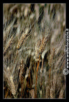 Caltanissetta: Campagna nissena. Spighe di grano. Frumento. Spighe. CALTANISSETTA Walter Lo Cascio