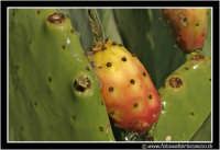 Caltanissetta: Campagna nissena. Il frutto tipico della Sicilia.... i fico d'india in tutto il loro splendore. Da notare la'acqua in alto a sinistra che sfiora la superficie del frutto.  - Caltanissetta (3285 clic)