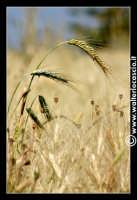 Caltanissetta: Campagna nissena. Spighe di grano. Frumento. Spighe. Foto di Walter Lo Cascio www.walterlocascio.it  - Caltanissetta (2296 clic)