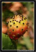 Caltanissetta: Campagna nissena. Il frutto tipico della Sicilia.... i fico d'india in tutto il loro splendore.   - Caltanissetta (3592 clic)