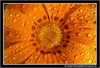 Caltanissetta: Campagna nissena. Macro ad un fiore di campo. Foto scattata di prima mattina. Da notare la brina depositata sui petali del bellisismo fiore.  - Caltanissetta (3124 clic)