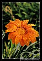 Caltanissetta: Campagna nissena. Macro ad un fiore di campo. Foto scattata di prima mattina. Da notare la brina depositata sui petali del bellisismo fiore.  - Caltanissetta (2115 clic)