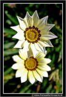 Caltanissetta: Campagna nissena. Macro a due fiori di campo.  CALTANISSETTA Walter Lo Cascio