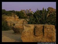 Agavi nella Valle dei Templi di Agrigento. Sullo sfondo le colonne del Tempio di Ercole.  - Agrigento (3687 clic)