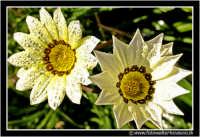 Caltanissetta: Campagna nissena. Macro a due fiori di campo. Foto scattata di prima mattina. Da notare la brina depositata sui petali del bellisismo fiore.  - Caltanissetta (2114 clic)