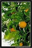 Caltanissetta: Campagna nissena. Mandarini maturi. CALTANISSETTA Walter Lo Cascio