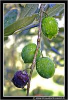 Caltanissetta: Campagna nissena. Olive al ramo con brina.  - Caltanissetta (3123 clic)