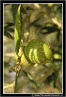 Caltanissetta: Campagna nissena. Olive al ramo con brina. CALTANISSETTA Walter Lo Cascio