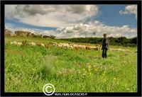 Caltanissetta. Campagna nissena. Campagna vicino la zona industriale Contrada Calderaro. Il Pastore Peter e il suo gregge di pecore.   - Caltanissetta (2458 clic)