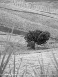 Alberi nel campo di grano. Panorama rurale nisseno.  - Caltanissetta (4268 clic)