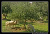 Caltanissetta: Campagna nissena. Pecore al pascolo.  - Caltanissetta (2905 clic)