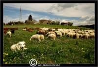 Caltanissetta. Campagna nissena. Campagna vicino la zona industriale Contrada Calderaro. Il Pastore Peter e il suo gregge di pecore.   - Caltanissetta (2311 clic)