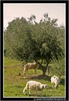 Caltanissetta: Campagna nissena. Pecore al pascolo.  - Caltanissetta (2195 clic)