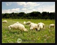 Caltanissetta. Campagna nissena. Campagna vicino la zona industriale Contrada Calderaro. Gregge di pecore.   - Caltanissetta (2269 clic)
