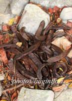 frutto del carrubo   - Ragusa (2790 clic)