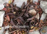 frutto del carrubo   - Ragusa (3111 clic)