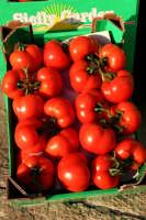 pomidoro di donnalucata  - Scicli (4025 clic)