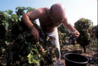 vendemmia nelle vigne di Marzamemi  - Marzamemi (4717 clic)