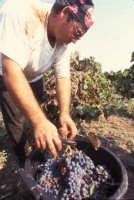 vendemmia nelle vigne di Marzamemi  - Marzamemi (5264 clic)