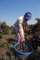 vendemmia nelle vigne di Marzamemi  - Marzamemi (4518 clic)
