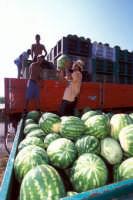 raccolta delle angurie  - Pachino (7392 clic)