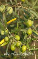 le olive di chiaramonte  Luigi Nifosì