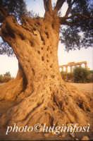 ulivo e tempio di Giunone  - Agrigento (2833 clic)