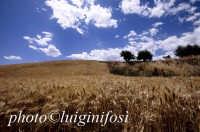 campo di grano nella piana di gela  - Gela (3199 clic)