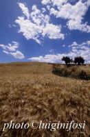 campo di grano nella piana di gela  - Gela (2768 clic)