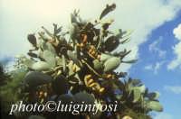 pianta e frutti di fichi d'india  - Scicli (11158 clic)