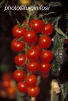 pomodorino pachino  - Pachino (4295 clic)