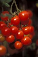 pomodorino Pachino  - Pachino (5577 clic)