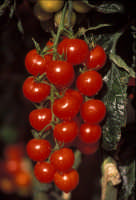 pomodorino Pachino  - Pachino (5249 clic)
