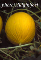 melone giallo dalle serre di licata  - Ragusa (4037 clic)