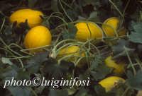 meloni gialli dalle serre di licata  - Ragusa (4440 clic)