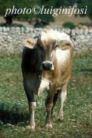 mucca al pascolo nelle campagne di modica  - Modica (3808 clic)