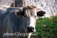 mucca al pascolo nelle campagne di modica  - Modica (3880 clic)